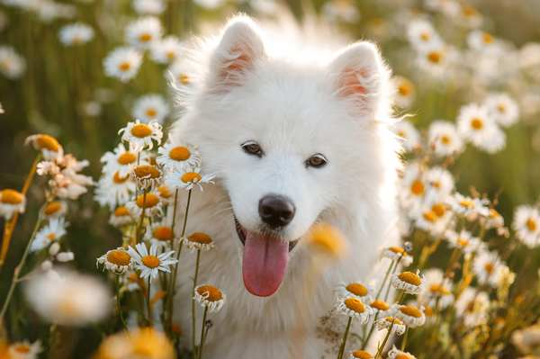 Dog sitting in a field of daisies